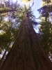 Looking upwards at a redwood tree that is so giant I can't see the top from this vantage point.